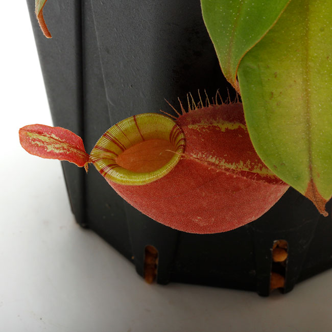 "Nepenthes mirabilis var. globosa x ampullaria "" Red with Candy lip ""  [ ネペンテス・ミラビリス var, グロボーサ × アンプラリア ""レッドウィズキャンディーリップ "" ] 【 PN210501-06 】"