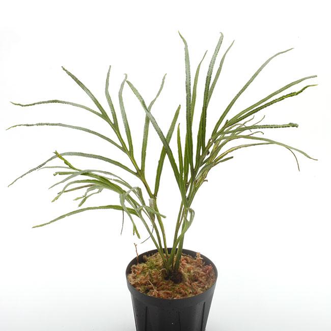Dicranoglossum panamense  [ ディクラノグロッサム・パナマエンシス ] 【 PN200218-06 】