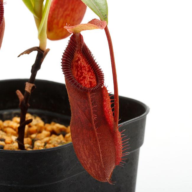 Nepenthes singalana x hamata [ ネペンテス・シンガラナ×ハマタ ] 【 Borneo Exotics / BE-3900 】【 PN200205-131 】
