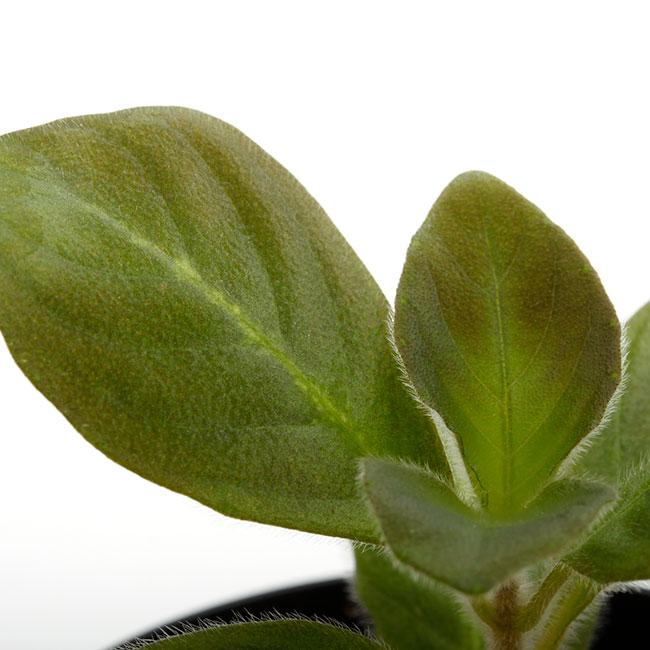 Aphelandra maculata [ アフェランドラ・マクラータ ] 【 PN210122-03 】