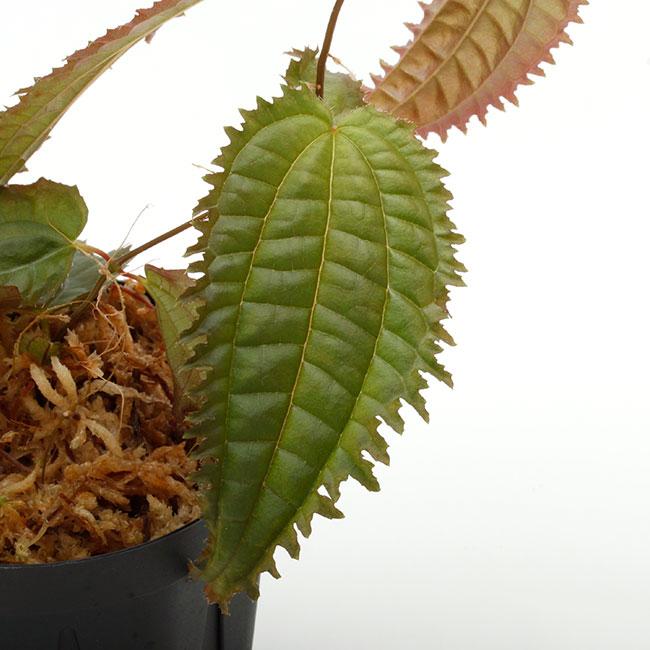 """Pilea sp. """" Ecuador """"  [ ピレア? sp. ] 【 PN210501-07 】"""