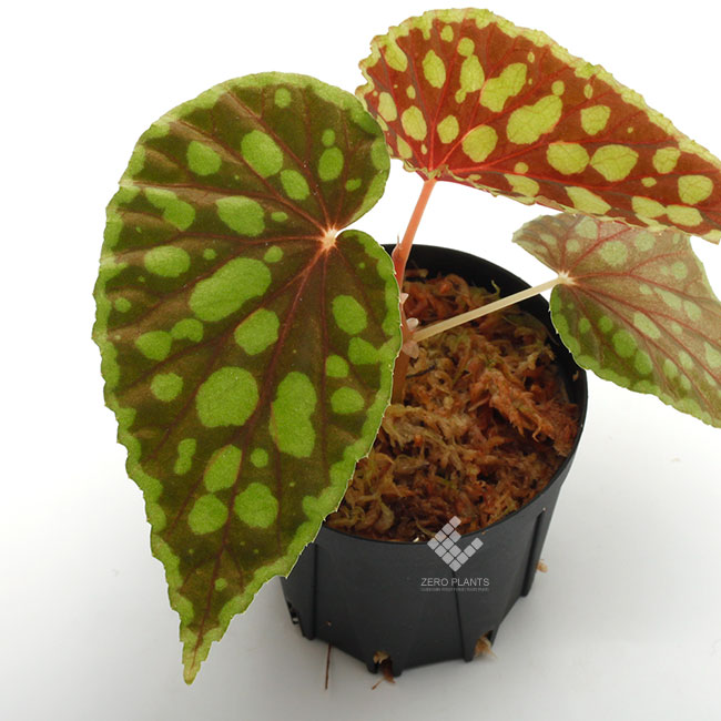 Begonia chlorosticta [ ベゴニア・クロロスティクタ ] 1ポット