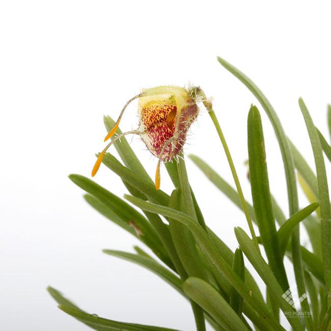 Diodonopsis erinacea [ ディオドノプシス・エリナセア ] 【 PN1190517-07 】
