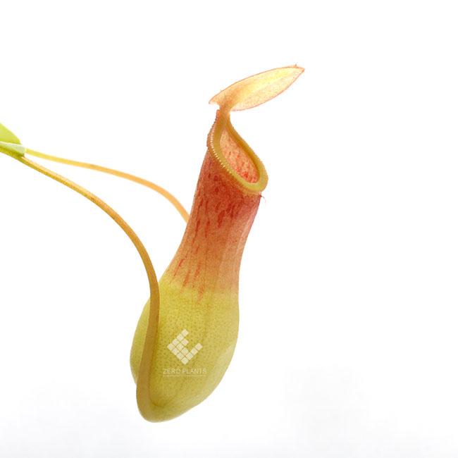 ネペンテス・アラタ Lサイズ 1ポット 【 ビバリウム、パルダリウムに使いやすい植物 】