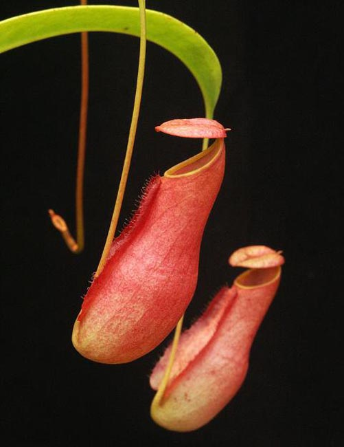 Nepenthes madagascarensis [ ネペンテス・マダガスカリエンシス ] 【 Borneo Exotics / BE-3247 】【 PN181130-32 】