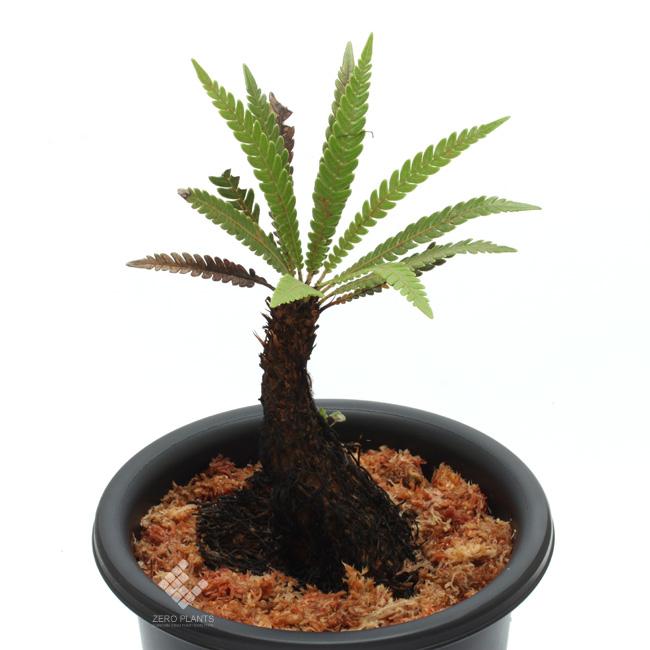 Blechnum obtusatum var. obtusatum ( L ) [ ブレクナム・オブツサタム var. オブツサタム ] 【 PN181014-01 】