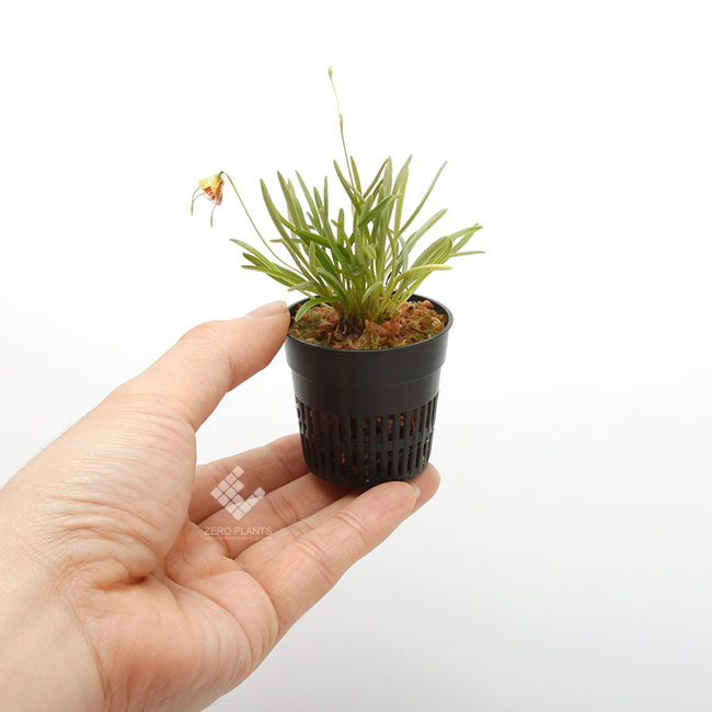 Diodonopsis erinacea [ ディオドノプシス・エリナセア ] 【 PN1190517-08 】