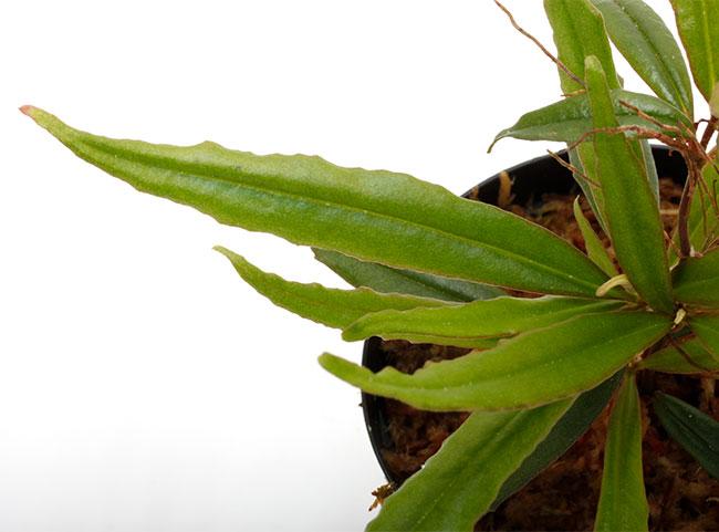 "Medinilla sp. "" Serian Sarawak, Borneo "" 【 PN210122-05 】"