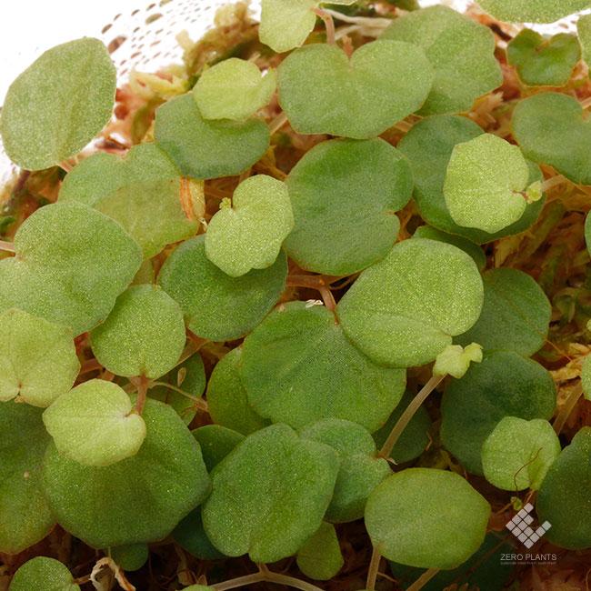 Begonia lichenora [ ベゴニア・リケノラ ] 1パック
