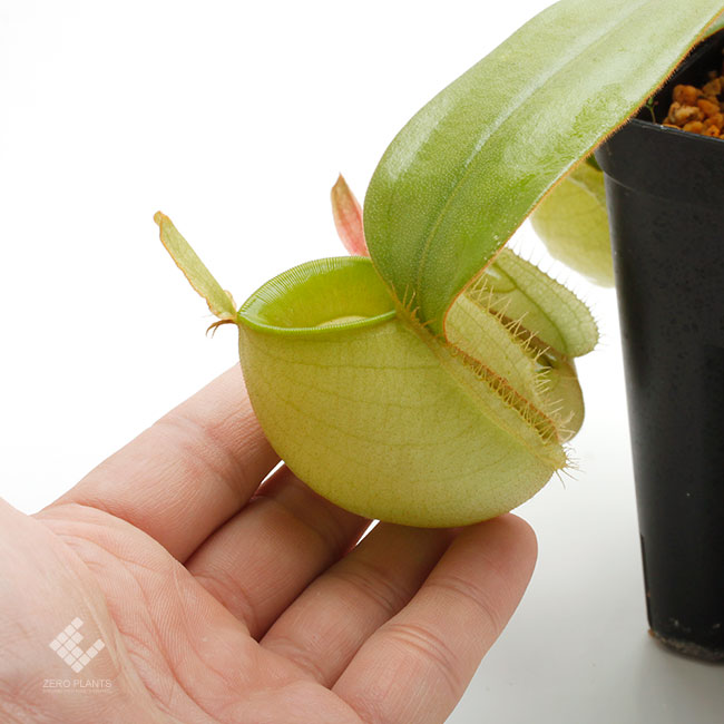 "Nepenthes ampullaria "" Green "" [ ネペンテス・アンプラリア ] 【 PN190913-04 】"