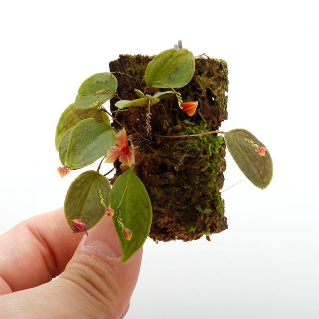 Lepanthes Sherry Bridygham ( L. calodictyon × L. telipogoniflora ) [ レパンテス・シェリーブリッガム ] 【 PN200910-11 】