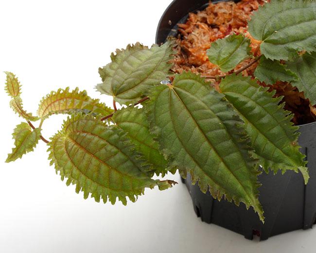 """Pilea sp. """" Ecuador """"  [ ピレア? sp. ] 【 PN201108-03 】"""