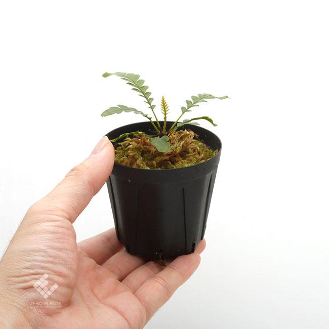 Blechnum obtusatum var. obtusatum [ ブレクナム・オブツサタム var. オブツサタム ] 【 PN190913-06 】