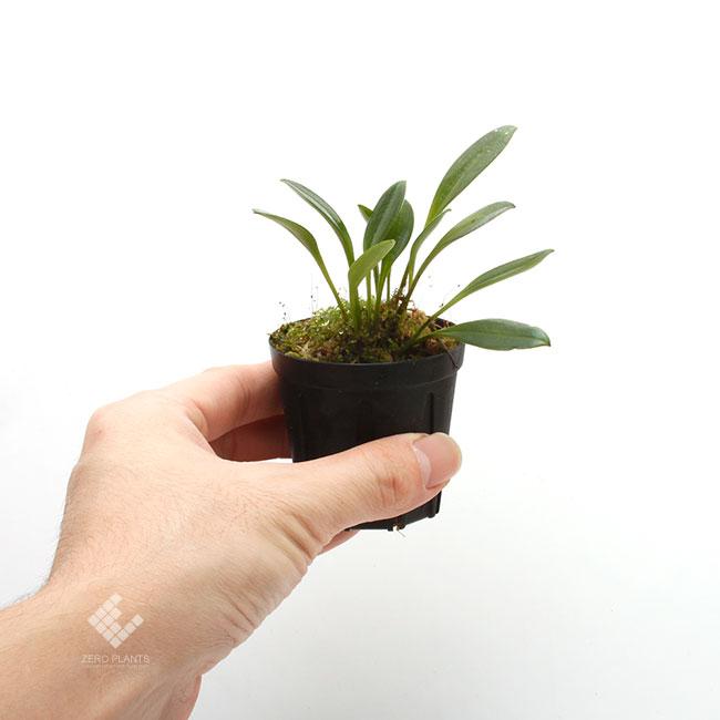 Porroglossum portillae [ ポログロッサム・ポルティラエ ] 【 PN191124-16 】