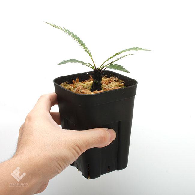 Blechnum obtusatum var. obtusatum [ ブレクナム・オブツサタム var. オブツサタム ] 【 PN190913-07 】
