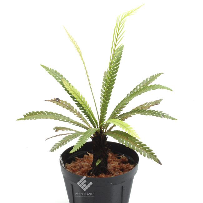 Blechnum obtusatum var. obtusatum ( M ) [ ブレクナム・オブツサタム var. オブツサタム ] 【 PN181014-02 】