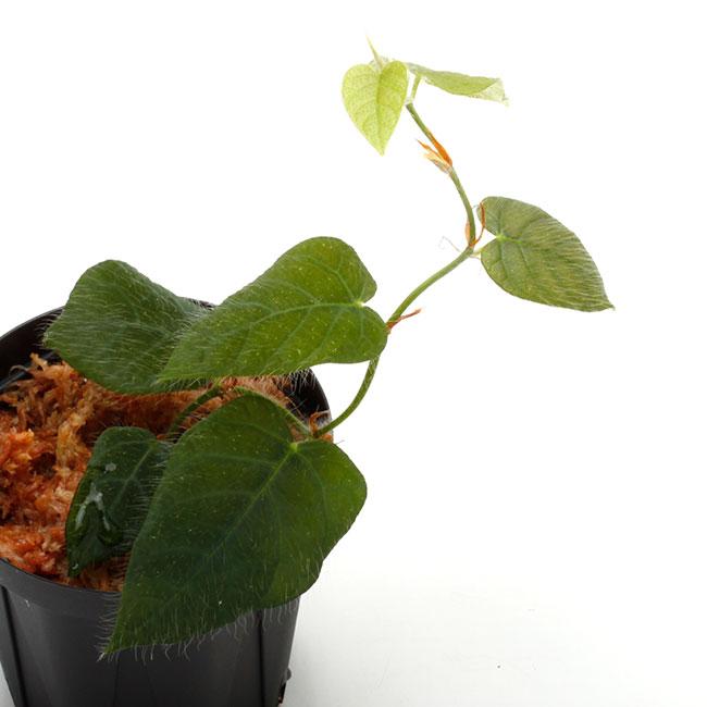 Ficus villosa [ フィカス・ビローサ ] 【 PN201108-04 】