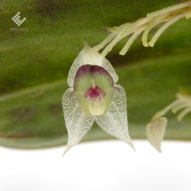 Lepanthes agglutinata [ レパンテス・アグルティナタ ] 【 PN1190913-09 】