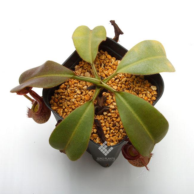 Nepenthes eymae [ ネペンテス・エイマエ ] MLサイズ 【 PN200106-15 】