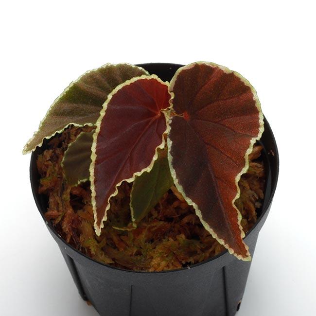 Begonia darthvaderiana [ ベゴニア・ダースベーデリアーナ ] 1ポット