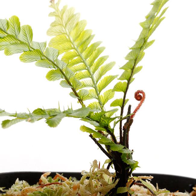 "Cephalomanes sp. ""TRAT, Thailand "" [ セファロマネス sp. ] 【 PN210501-18 】"
