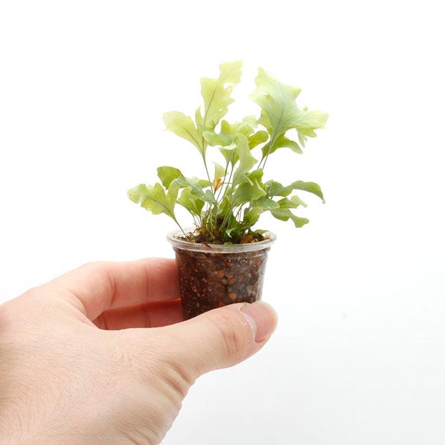 """Phlobodium aureum """" Davana """" [ フレボディウム・アウレウム """" ダバナ """" ] 1ポット 【 ビバリウム、パルダリウムに使いやすい植物 】"""