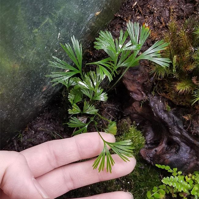 Actiniopteris radiata [ アクティニオプテリス・ラディアータ ] 1ポット 【 パルダリウム、ビバリウムに使いやすい植物 】