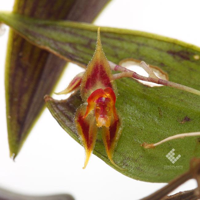 Lepanthes zamorensis [ レパンテス・ザモレンシス ] 【 PN200910-17 】