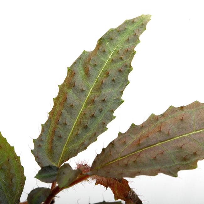 """Pilea sp. """" Esmeraldas """" [ ピレア sp. ] 【 PN201108-07 】"""
