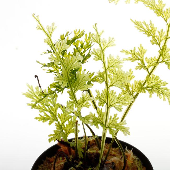 """Crepidomanes sp. """"Zaruma, Ecuador """" [ クレピドマネス sp. ] 【 PN210501-17 】"""