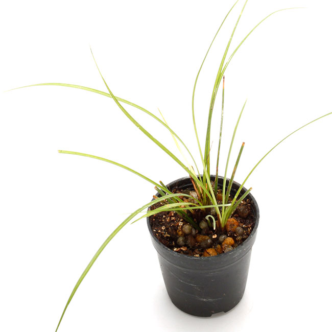 Carex conica Boott [ カレックス・コニカ ブーツ / ヒメカンスゲ ] 1ポット 【 パルダリウム、ビバリウムに使いやすい植物 】