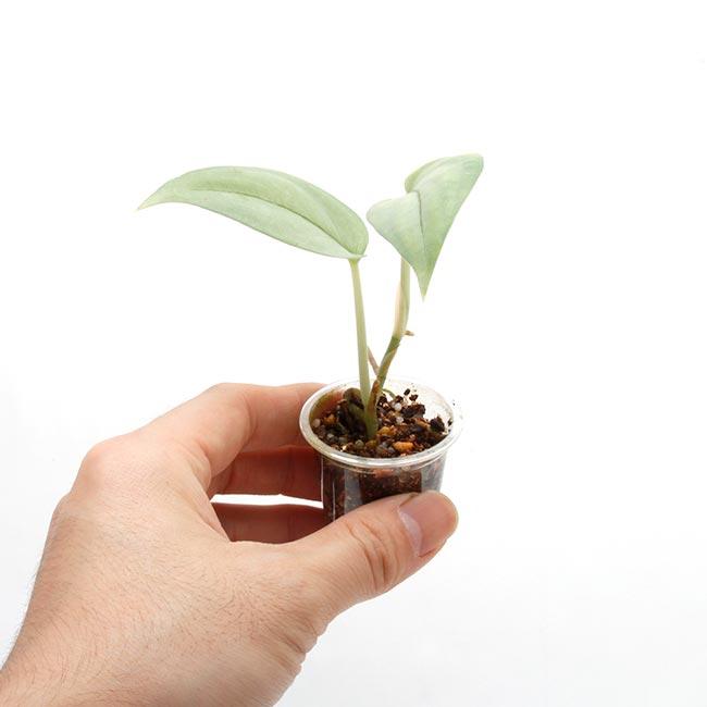 """Scindapsus sp. """" Miri """" [ スキンダプサス sp. ミリ産 ] 1ポット 【 パルダリウム、ビバリウムに使いやすい植物 】"""