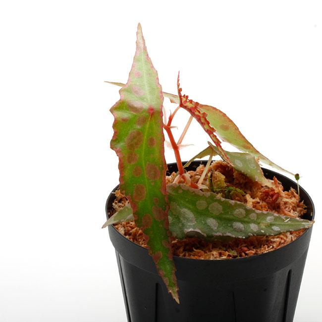 Begonia amphioxus [ ベゴニア・アンフィオクサス ] 【 PN201108-08 】