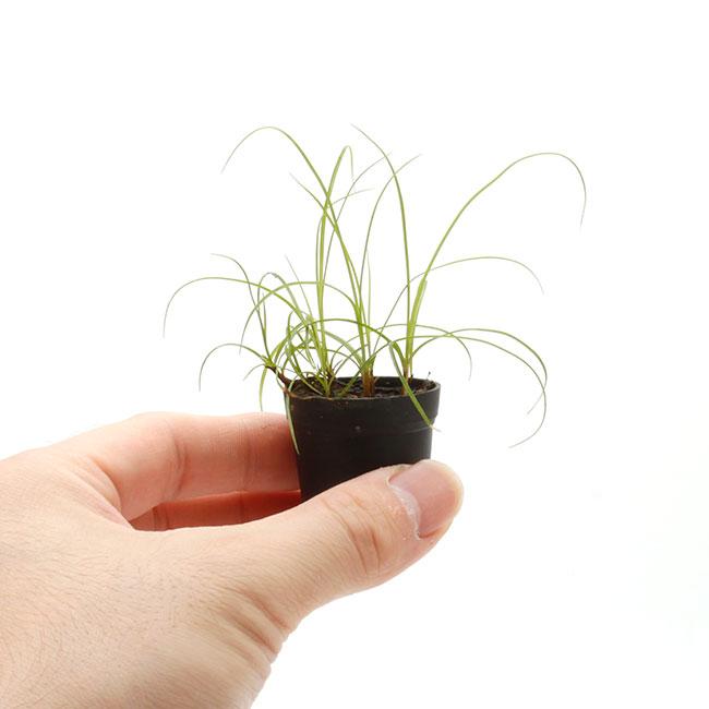 Carex discoidea [ カレックス・ディスコイデア / ヒメアオスゲ・奄美大島産 ] 1ポット 【 パルダリウム、ビバリウムに使いやすい植物 】