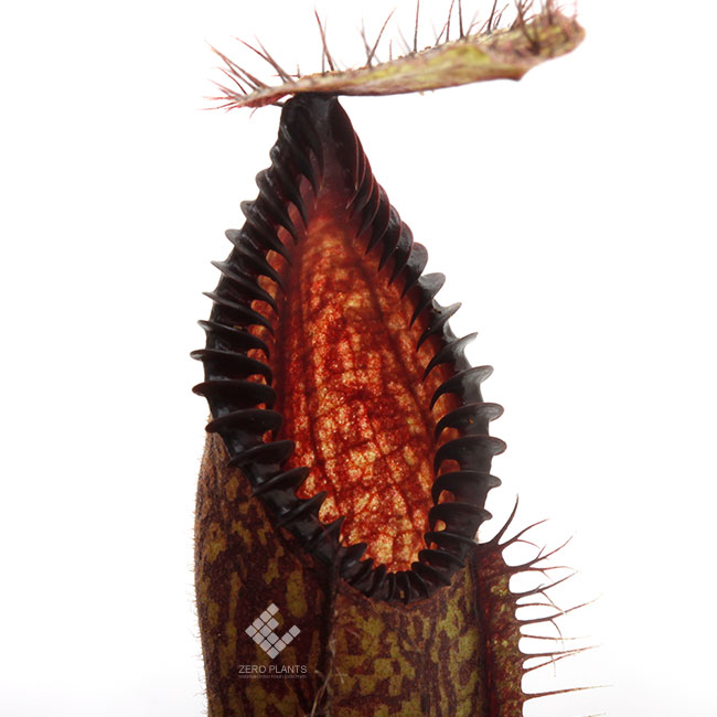 Nepenthes hamata [ ネペンテス・ハマタ ] 【 PN191018-10 】