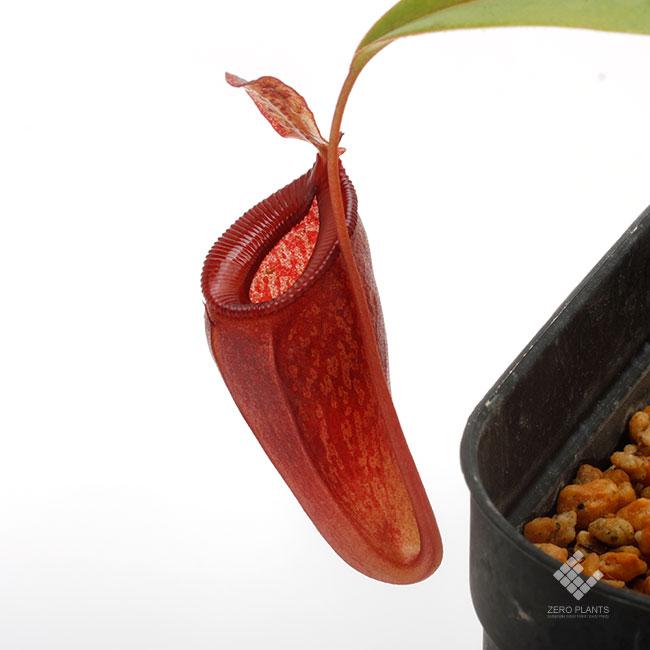 Nepenthes jamban / Sumatera [ ネペンテス・ジャンバン ] 【 PN190913-12 】