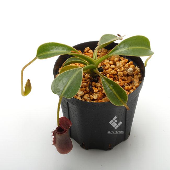 """Nepenthes lowii """"Gunung Trusmadi """"  [ ネペンテス・ローウィー ] 【 PN200106-18 】"""