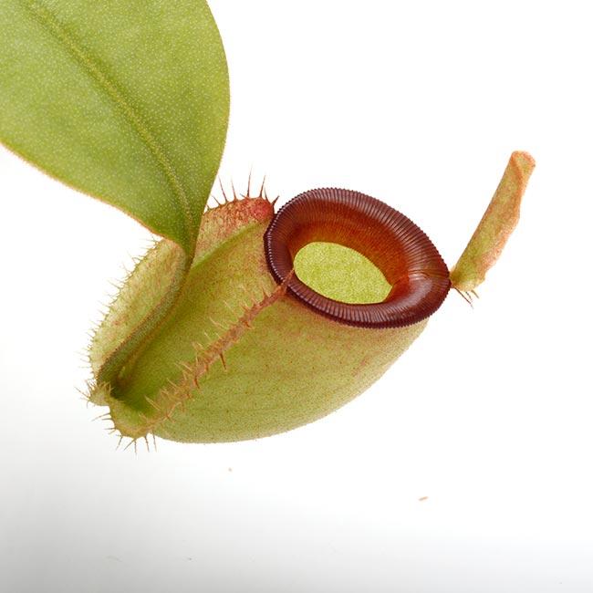 "Nepenthes ampullaria "" Red Lip ""  [ ネペンテス・アンプラリア ] 【 PN200603-01 】"
