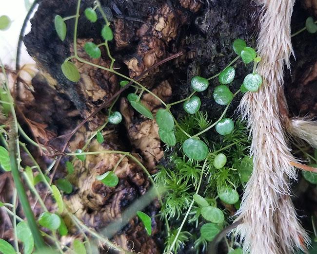 Peperomia emarginella [ ペペロミア・エマジネラ ] 1カップ 【 パルダリウム、ビバリウムに使いやすい植物 】