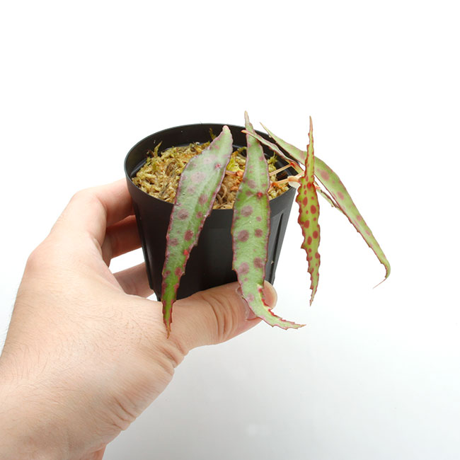 Begonia amphioxus [ ベゴニア・アンフィオクサス ] 【 PN210501-20 】