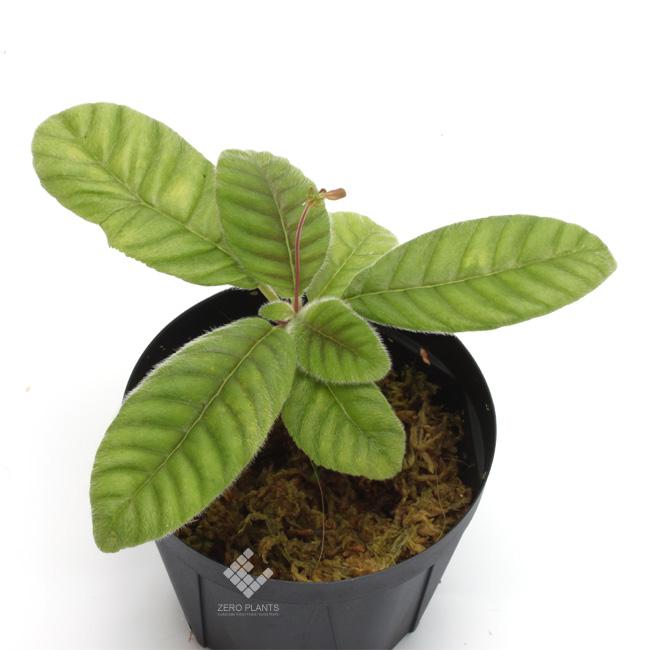 "Codonoboea sp.  "" West Sumatera "" [ コドノボエア sp. 西スマトラ ] 【 PN181014-08 】"