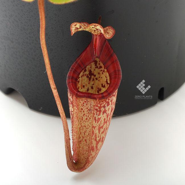 Nepenthes x alisaputrana [ ネペンテス・アリサプトラナ ] 【 PN191004-16 】