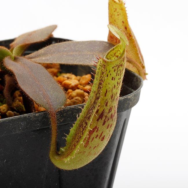 Nepenthes platychila  [ ネペンテス・プラティチラ ] 【 PN190913-13 】