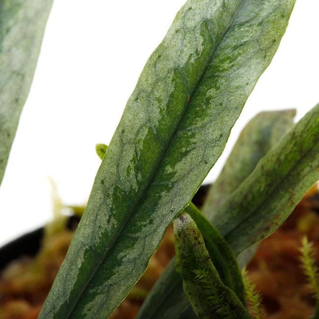 "Microsorum sp. ""Northern Myanmar "" [ ミクロソラム sp. ] 【 PN211010-14 】"
