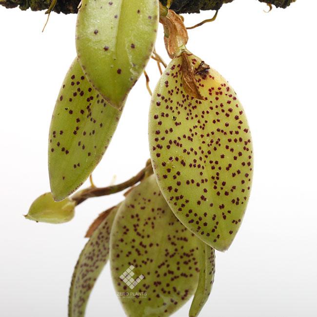 Pleurothallis dodsonii [ プレウロタリス・ドドソニー ] 【 PN190612-07 】