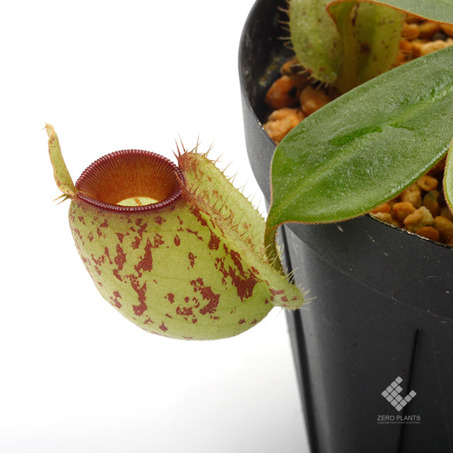 """Nepenthes ampullaria """" Spotted with Red Lip """"  [ ネペンテス・アンプラリア ] 【 PN200603-03 】"""