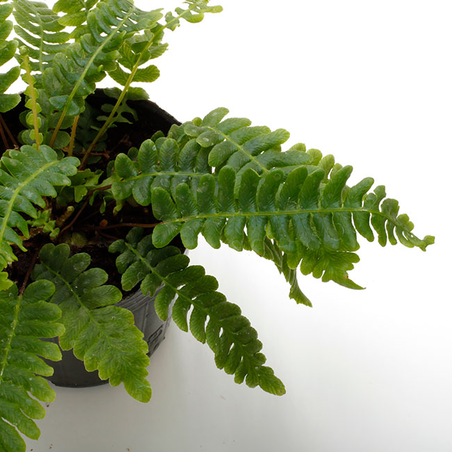 Blechnum blechnoides [ ブレクナム・ブレクノイデス ] 1ポット