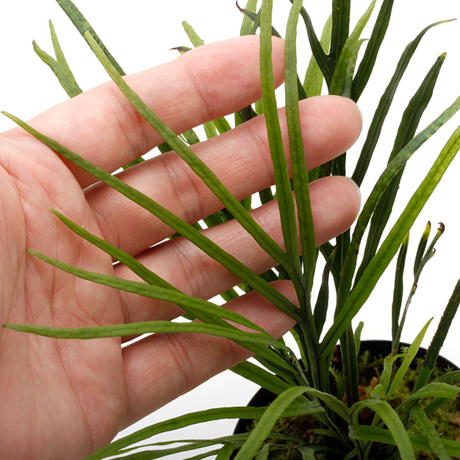 Dicranoglossum panamense  [ ディクラノグロッサム・パナマエンシス ] 【 PN210815-21 】