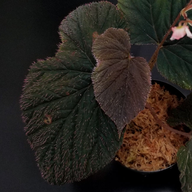 Begonia lugonis  [ ベゴニア・ルゴニス ] 【 南米原産の個性派原種ベゴニア 】 【 PN211010-15 】