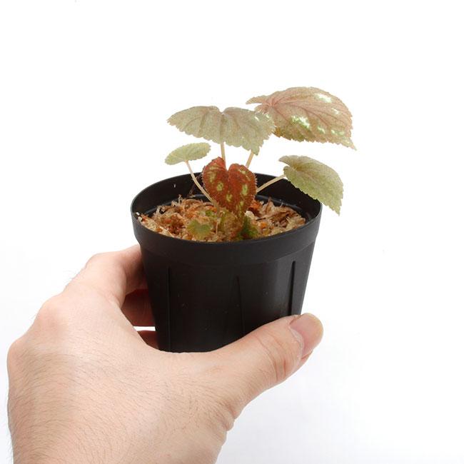 Begonia lugonis  [ ベゴニア・ルゴニス ] 【 南米原産の個性派原種ベゴニア 】 【 PN211010-16 】